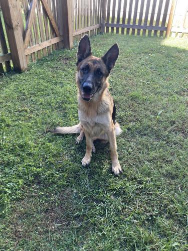 Found/Stray Female Dog last seen Cornwallis Rd x Yorktown Ave, Durham, NC 27707