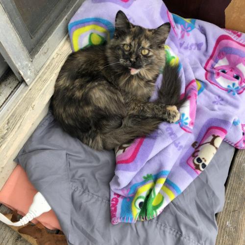 Lost Female Cat last seen Senseny Rd / Williamson Rd, Frederick County, VA 22602