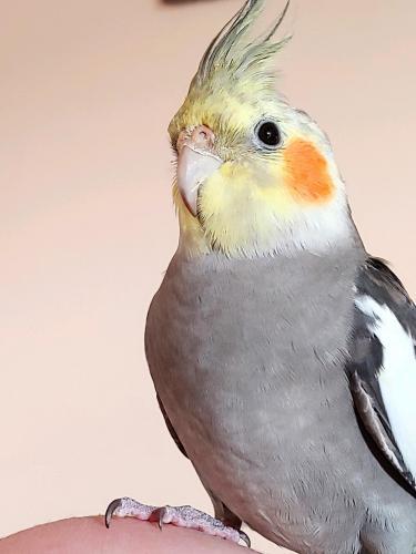 Lost Male Bird last seen Culpeper Va , Culpeper, VA 22701