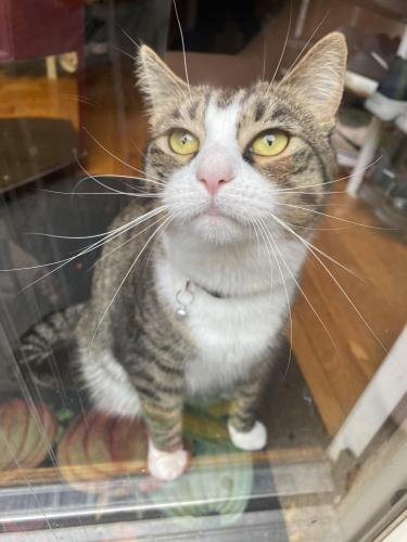 Lost Female Cat last seen Bracknell Drive, Troika Court, Springwoods Drive, Lake Ridge, VA 22192