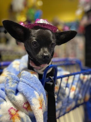 Lost Female Dog last seen Cypress station, Houston, TX 77090